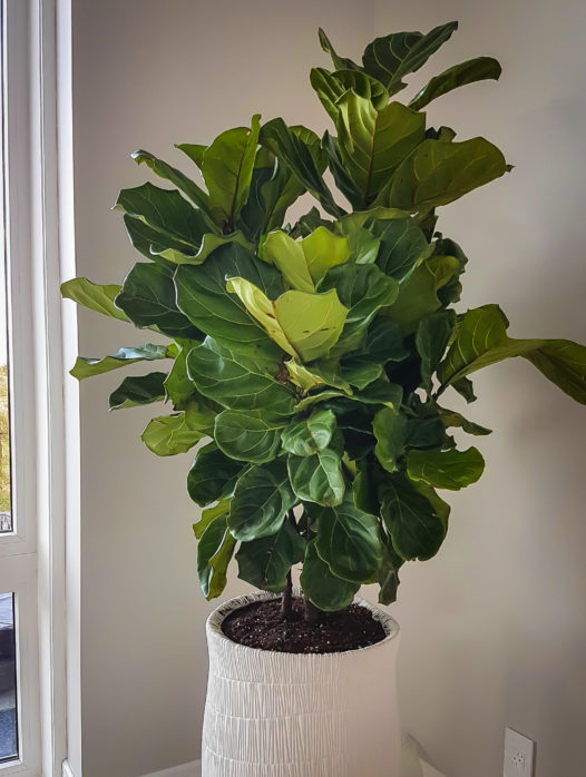 Fiddle Leaf Fig Bush