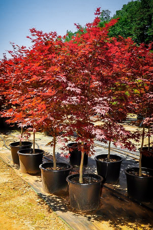 Fireglow Japanese Maple Tree For Sale Online The Tree Center