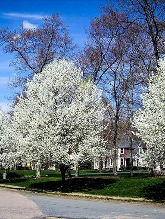 Cleveland Flowering Pear Tree