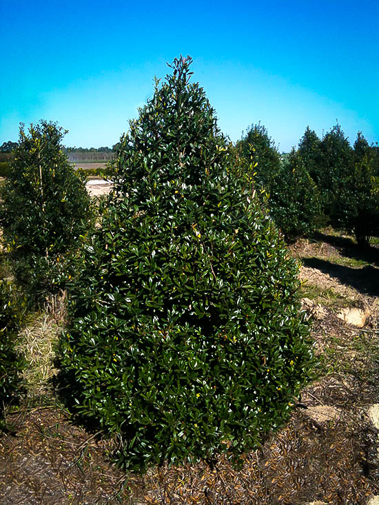 Foster Holly Trees For Sale Online The Tree Center