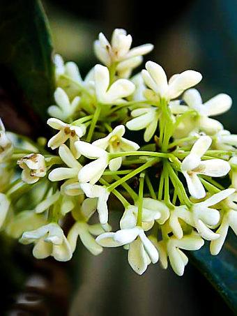 Fragrant Tea Olive Flowers