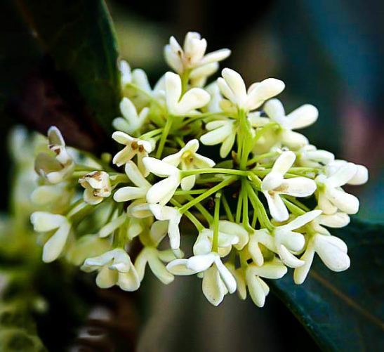Fragrant Tea Olive Flowers
