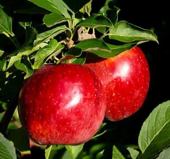 Fuji Apple Tree Branch