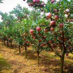 Fuji Apple Tree Orchard