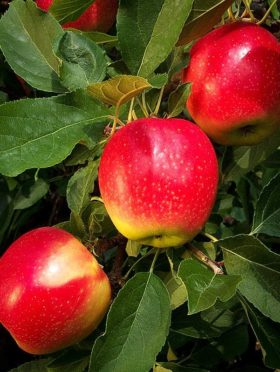 Gala Apples on Tree Branch