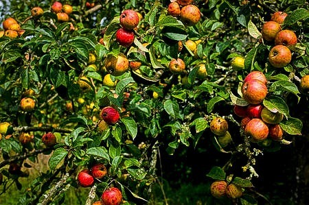 Large group of fruit on a Gala Apple Tree