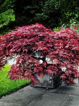 Crimson Queen Japanese Maple For Sale Online The Tree Center