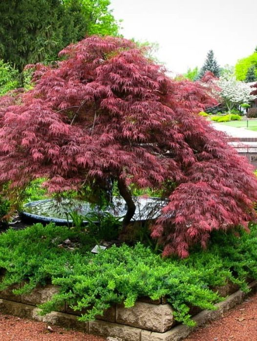Garnet Japanese Maple