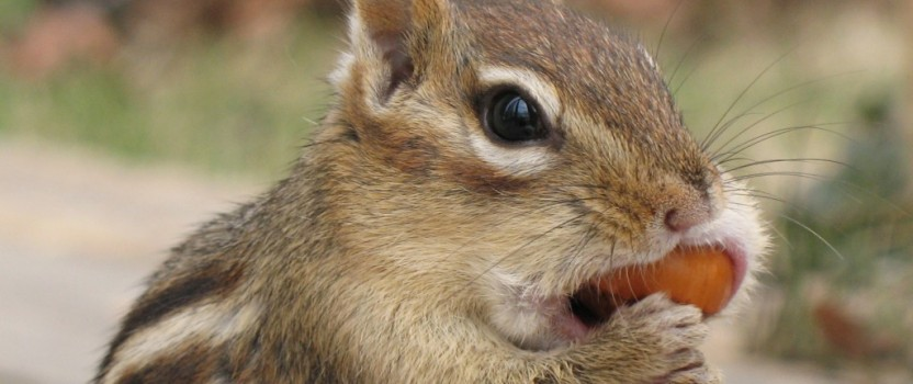 Getting Rid Of Chipmunks