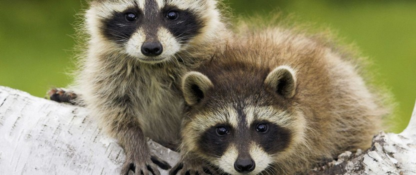 Getting Rid Of Raccoons