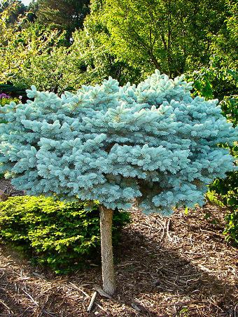 Globe Blue Spruce Tree