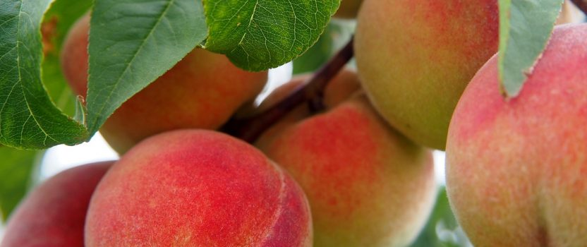 Growing Peaches in Your Garden