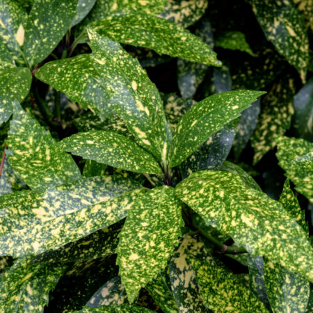 Aucuba Plants