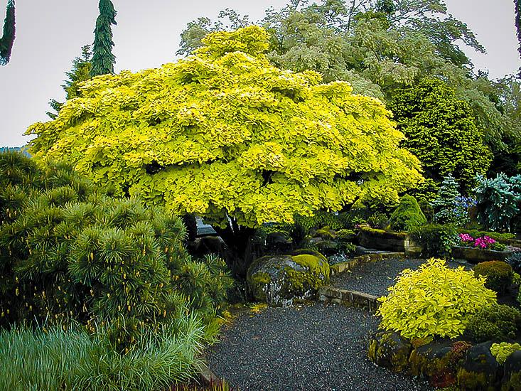 Golden Full Moon Japanese Maple Trees For Sale The Tree Center