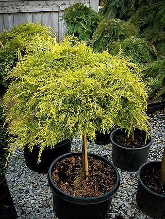 Golden Glow Juniper Tree