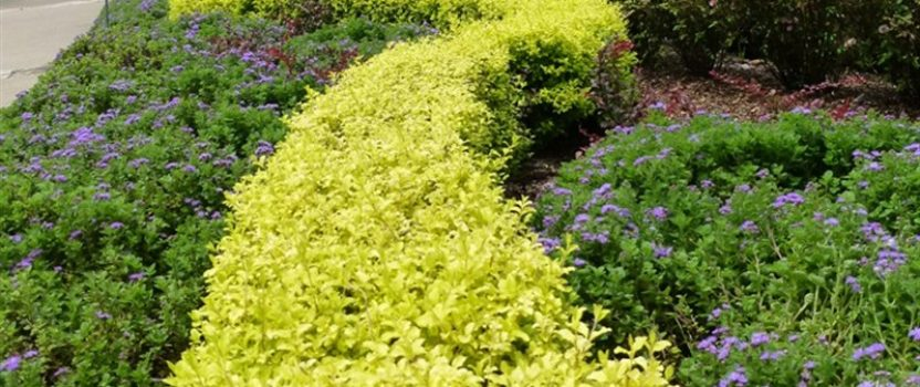 Colorful Hedges for Any Garden