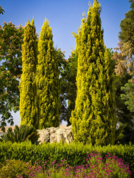 Golden Italian Cypress
