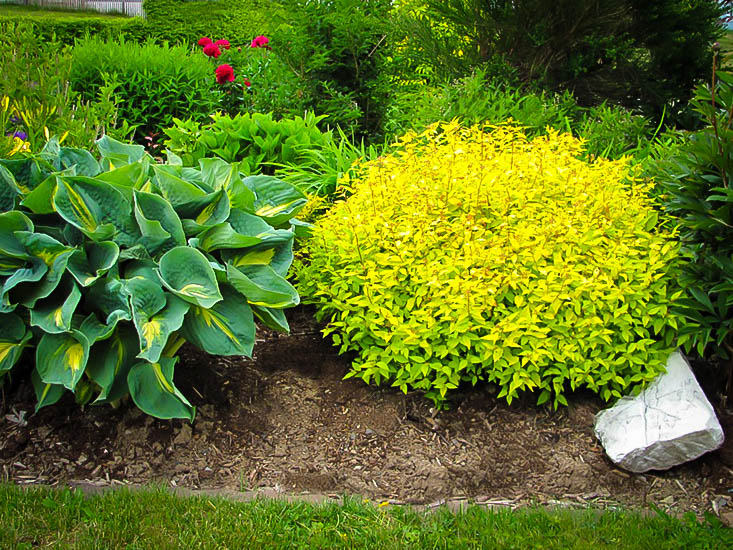 Gold Mound Spirea Shrubs For Sale Online The Tree Center