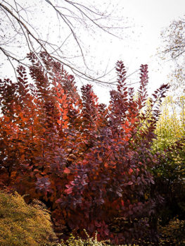 Purple Smoke Tree Grace