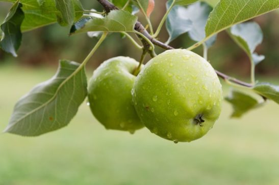 Granny Smith apples on a Granny Smith Apple Tree