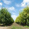 Granny Smith Apple Tree Orchard