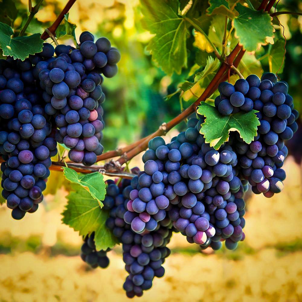 Concord Grape Vines For Sale The Tree Center