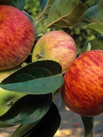 Gravenstein Apple Tree Branch