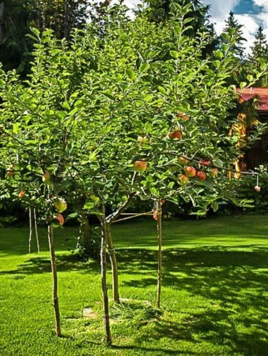 Gravenstein Apple Tree