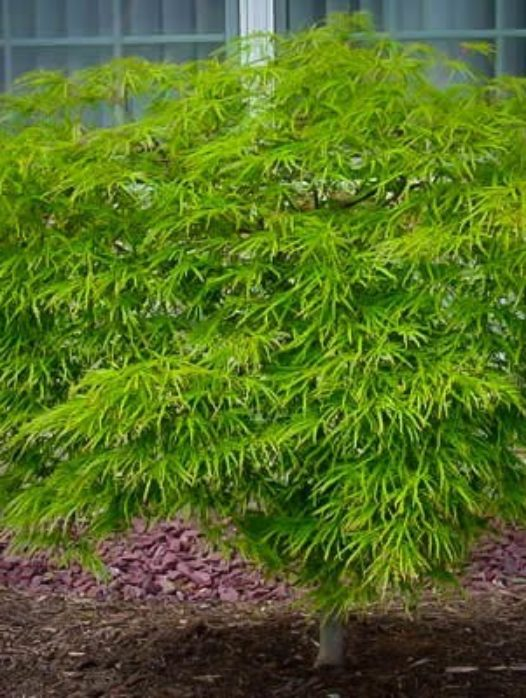 Green Cascade Japanese Maple