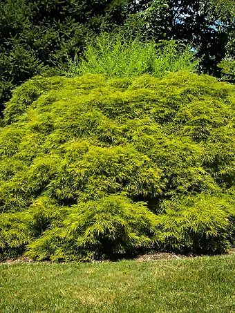 Green Mist Japanese Maple
