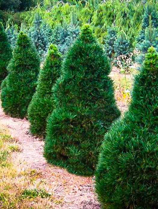 Green Penguin Scots Pine