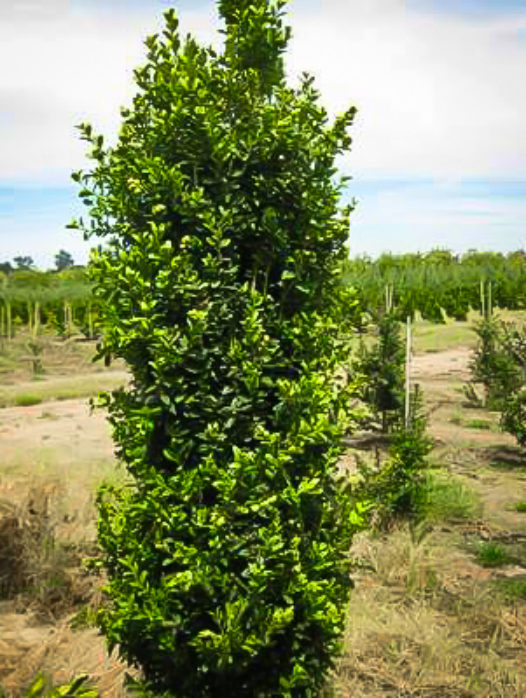 Green Pillar Boxwood