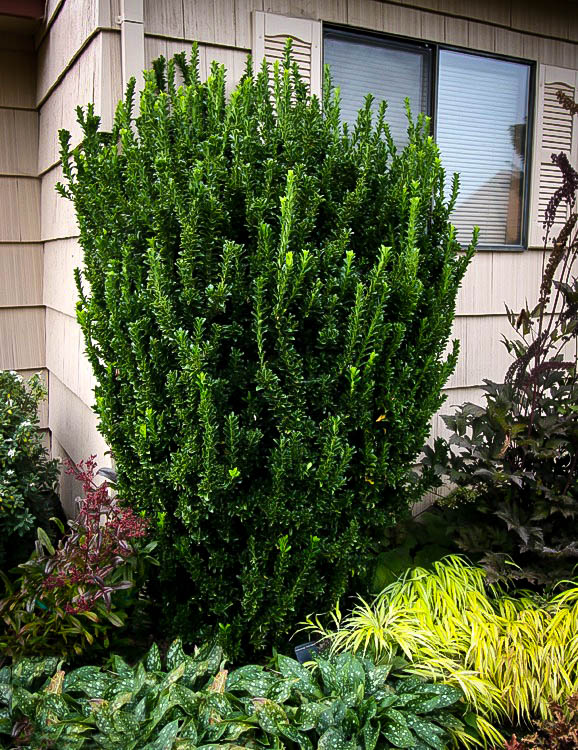 Green Spire Euonymus For Sale Online The Tree Center