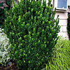 Green Spire Euonymus bush