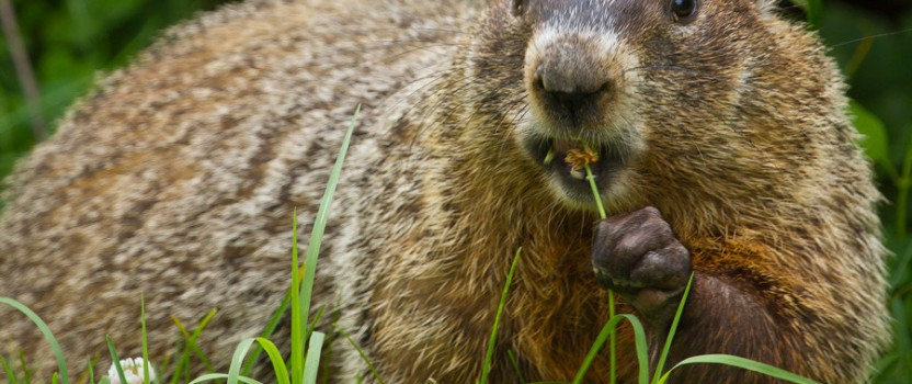 How To Get Rid Of Groundhogs?