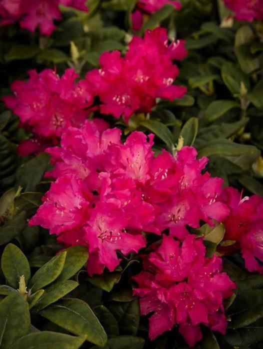 Hellikki Red Rhododendron