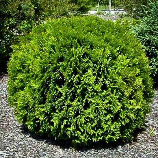 Hetz Midget Thuja Plant