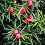 Hicks Yew Berries