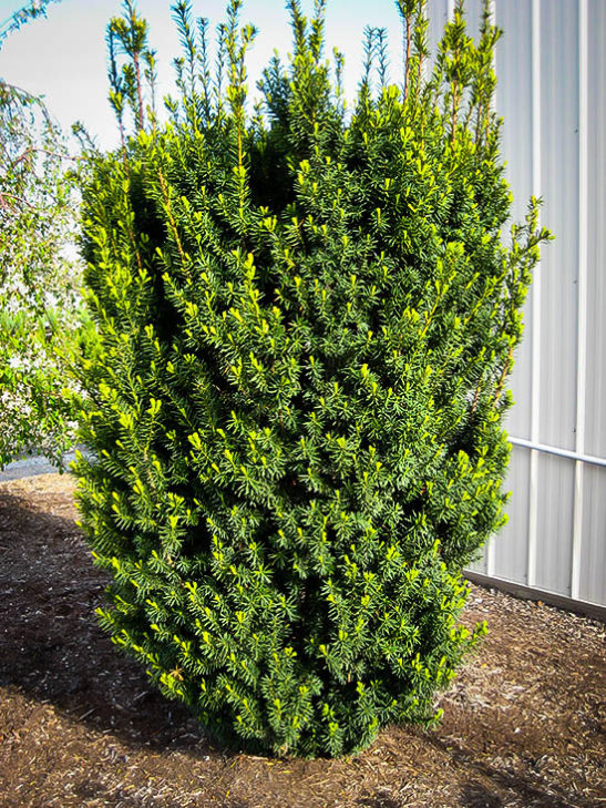 Hicks Yew Hedge