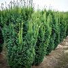 Hicks Yew Hedge Farm