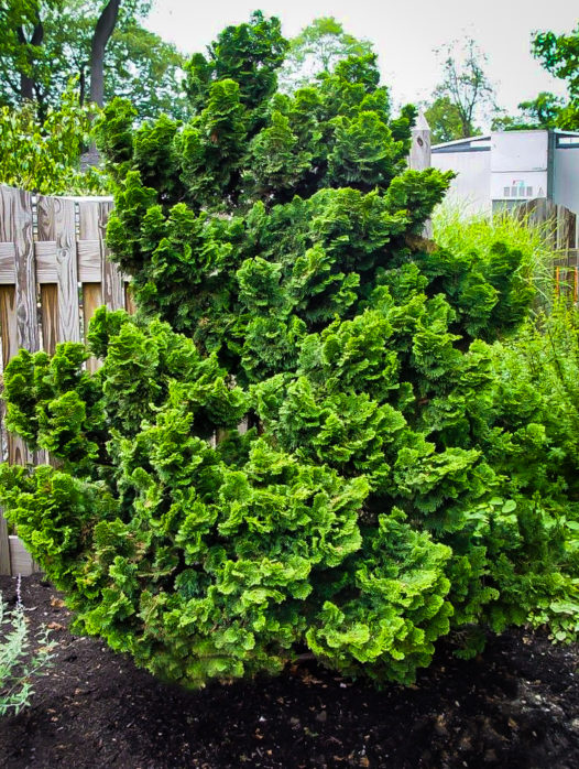 Graceful Dwarf Hinoki Cypress