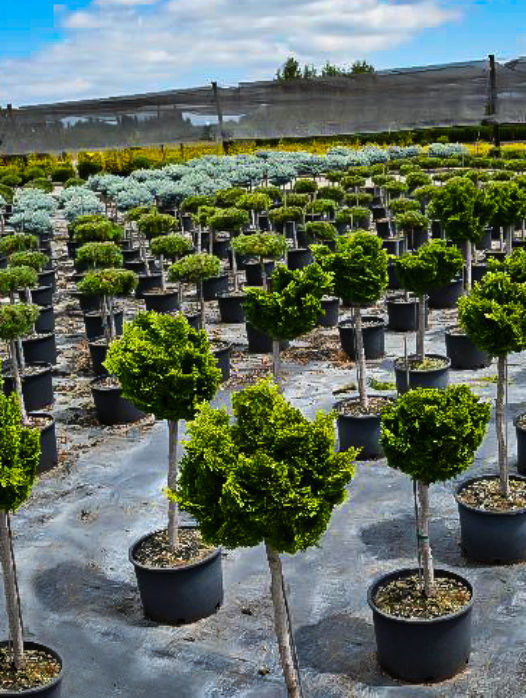 Graceful Dwarf Hinoki Cypress – Tree Form