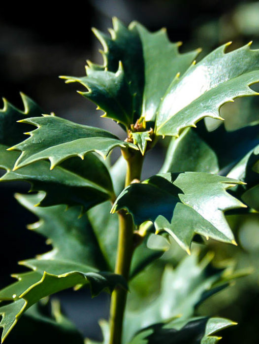 Acadiana Red Holly