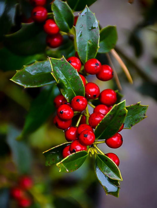 Christmas Jewel Holly