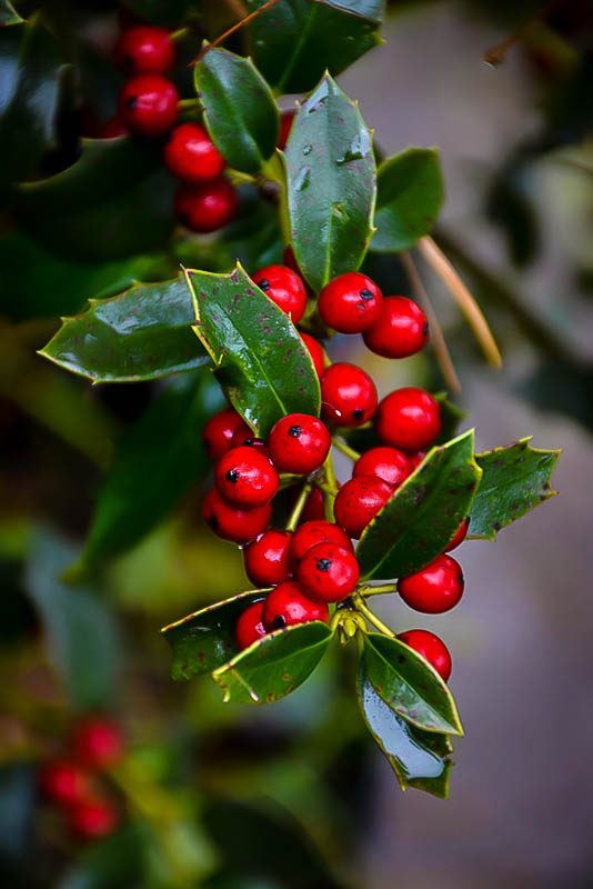Christmas Jewel Holly Trees For Sale The Tree Center