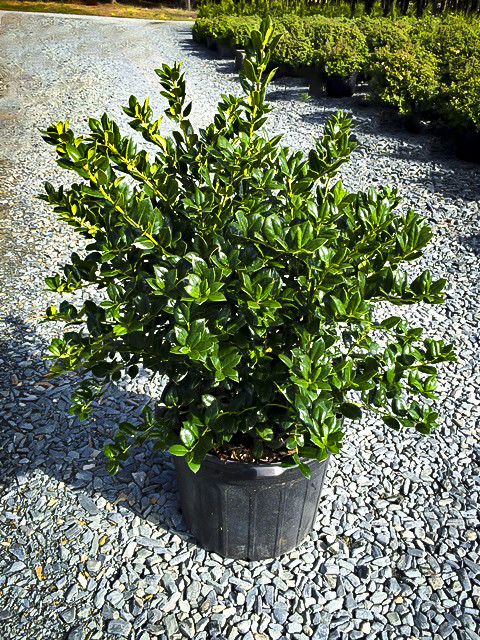 Dwarf Burford Holly Bushes For Sale The Tree Center