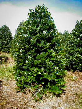 Buy Holly Trees Holly Bushes Trees For Sale The Tree Center