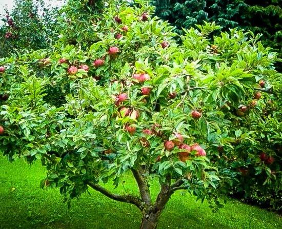 Mature Honeycrisp Apple Tree