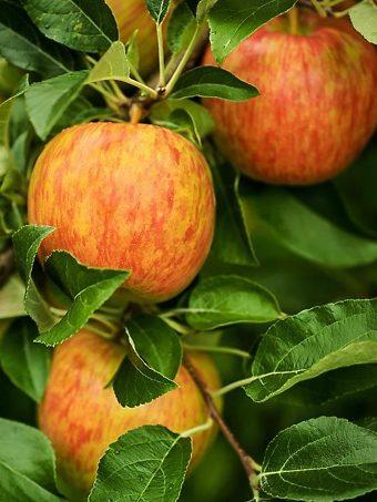 Honeycrisp Apple on Tree