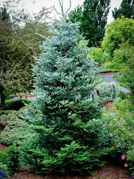 Evergreen Trees Buy Evergreen Trees Online The Tree Center